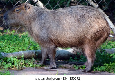 The capybara is the largest rodent in the world. Also called chiguire, it is a member of the genus Hydrochoerus, of which the only other extant member is the lesser capybara.