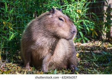 Capybara are the largest rodents in the world and native to Northern South America
