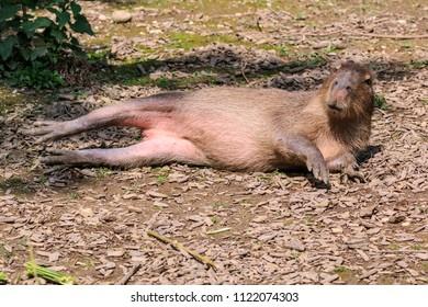 Capybara lying on the floor
