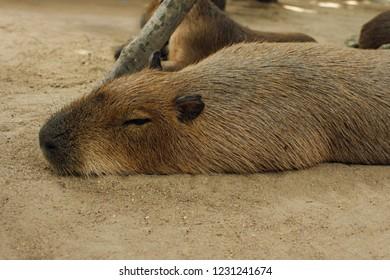 Capybara lying on grass ground / Sleeping capybaras on summer day in the capybara farm
