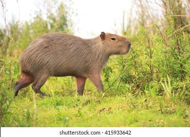 Capybara in the national park Esteros del Ibera, Argentina