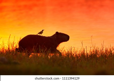 Capybara near the lake water with bird. The biggest mouse around the world, Capybara, Hydrochoerus hydrochaeris, with evening light during orange sunset, Pantanal, Brazil.