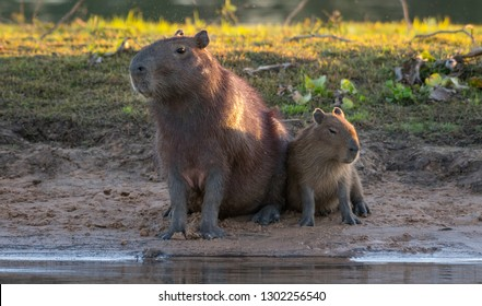 Capybara in Pantanal Brazil
