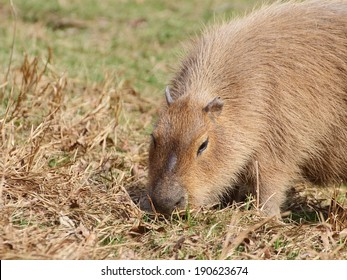 Capybara is pasturing on meadow closeup view