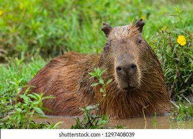 Capybara posing for photo