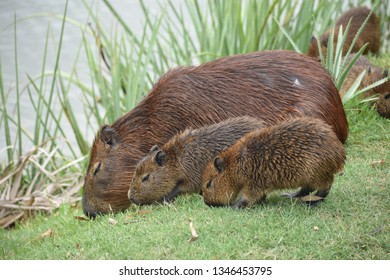 capybara rodent animal family