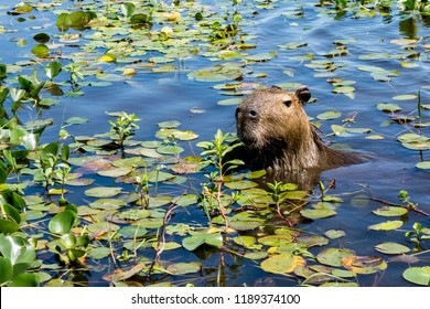 A capybara sticks its head up from the plant-covered waters of the Ibera Wetlands (Esteros del Ibera) near the village of Colonia Carlos Pellegrini in the Corrientes province of northern Argentina