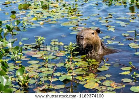 capybara-sticks-head-plantcovered-waters