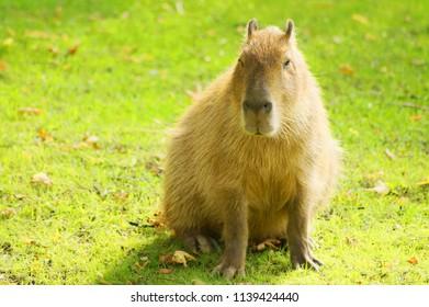 Capybara in the sun