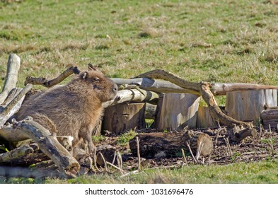 A Capybara takes shelter from the wind