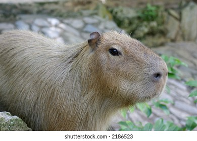 Capybara ,The world's largest rodent