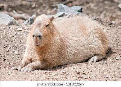 the capybara is a very large rodent