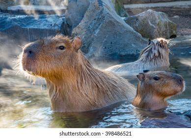 Capybara waiting for food at Izu Shaboten onsen