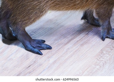 Capybara's feet, Capybara is the largest rodent in the world, The feet are partially webbed with four toes on the front feet and three toes on the hind feet.