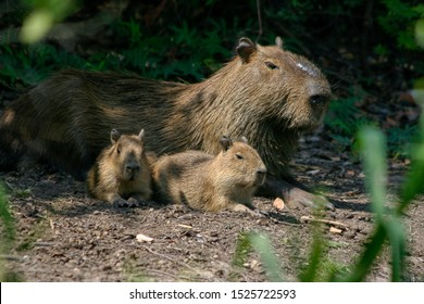 Capybaras, Hydrochoerus hydrochaeris, in the Pantanal region of Brazil. They are native to South America and are the largest rodent in the world.
