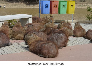 capybaras on the street