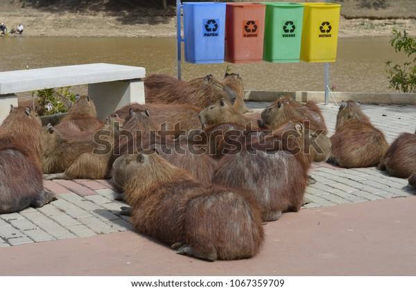 capybaras on the street