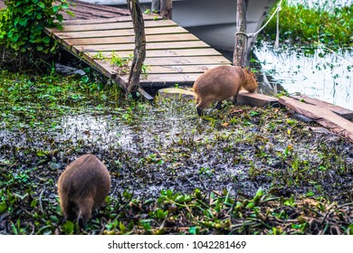 Capybaras at the Provincial Ibera park at Colonia Carlos Pellegrini, Argentina