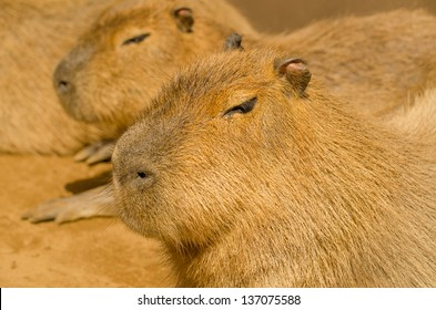 Capybaras sitting peacefully in the warm glow of sunlight