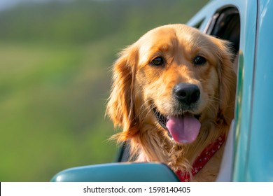 car cute dog loking out