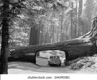 Car driving through passage way in a fallen tree in Sequoia National Park September 1957.