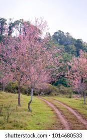 Car tyre tracks, Wild Himalayan Cherry Blossom Flower with blue sky at Phu Lom Lo, Loei, Thailand,Phuhinrongkla National Park