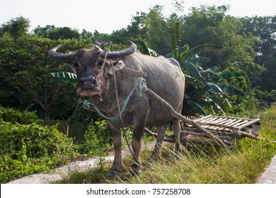 Carabao or (Bubalus bubalis carabanesis) is a domesticated subspecies of the water buffalo (Bubalus bubalis) found in the Philippines, used for pulling a plow or haul a cart