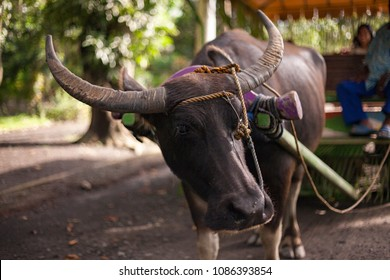 Carabao with a carriage