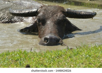 The carabao is a domestic swamp-type water buffalo native to the Philippines.