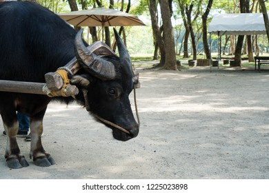 a carabao pulling heavy people on it's head