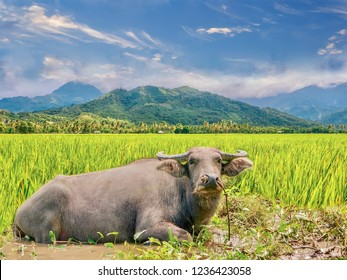 The carabao is a species of the domestic Asian water buffalo (Bubalus bubalis), native to the Philippines, where it is the national animal. It plows rice fields and cools off in muddy waterholes.