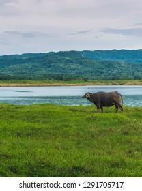 A carabao stares at the camera while grazing at a scenic man-made lake in Bohol.