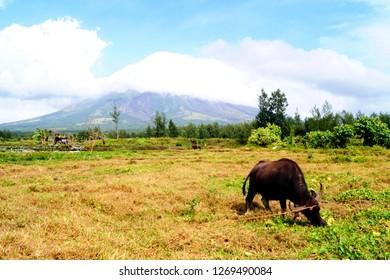 The Carabao. Viewed before at Mayon Volcano, Albay, Philippines