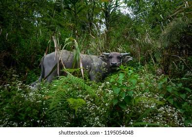 Carabao, Water Buffalo, Batad Philippines