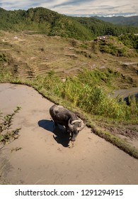 A carabao water buffalo at the Maligcong rice terraces in Mountain Province, Philippines