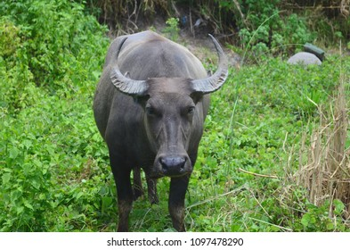 Carabao, water buffalo in the nature of the Philippines.