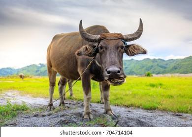 Carabao or Water Buffalo, Philippines