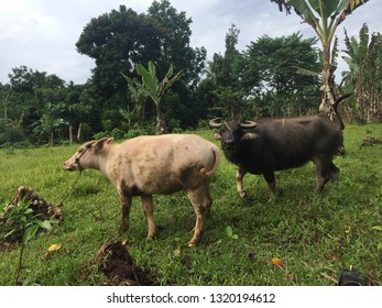 Carabaos or water buffaloes in a farm in southern Philippines