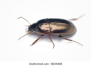 Carabid beetle on a white background