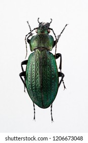 Carabus beetle, green black, isolated on a white backround