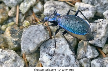 Carabus coriaceus is a predatory beetle, the largest representative of the family of beetles in the Czech Republic