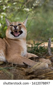 CARACAL caracal caracal, ADULT GROWLING, NAMIBIA