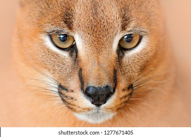 Caracal, African lynx, detail eye portrait. Beautiful wild cat in nature habitat, Botswana, South Africa. Animal face to face with beautiful eyes, Felis caracal. Wildlife scene from nature.