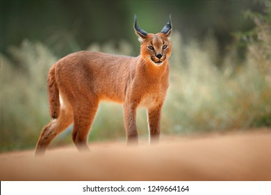 Caracal, African lynx, in green grass vegetation. Beautiful wild cat in nature habitat, Botswana, South Africa. Animal face to face walking on gravel road, Felis caracal. Wildlife scene from nature.