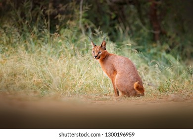 Caracal, African lynx, in green grass vegetation. Beautiful wild cat in nature habitat, Botswana, South Africa.Wildlife scene from nature.  Animal face to face walking on gravel road, Felis caracal.