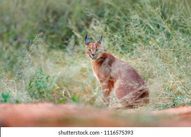 Caracal, African lynx, hidden in green grass vegetation. Beautiful wild cat in nature habitat, Botswana, South Africa. Animal in beautiful environment, caracal sitting on gravel road.