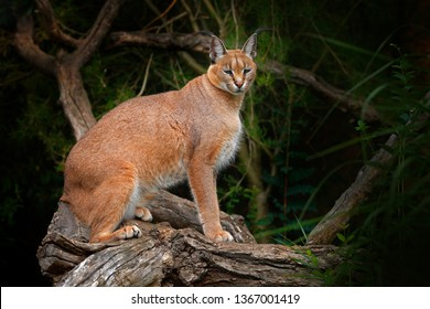 Caracal, African lynx, on the tree vegetation. Beautiful wild cat in nature habitat, Botswana, South Africa.Wildlife scene from nature.  Animal face to face walking on gravel road, Felis caracal.