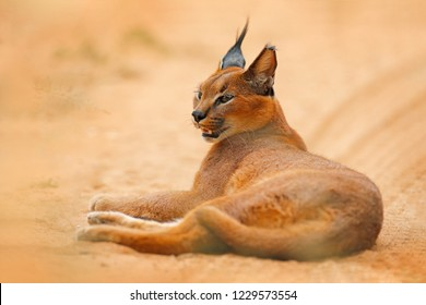 Caracal, African lynx, in orange sand desert, Etosha NP, Namibia. Beautiful wild cat in nature habitat, South Africa. Animal face to face sitting on gravel road, Felis caracal.