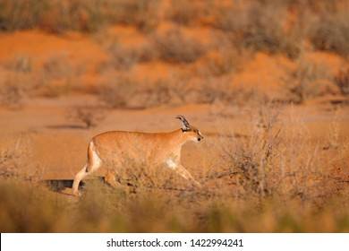 Caracal, African lynx, in red sand desert. Beautiful wild cat in nature habitat, Kgalagadi, Botswana, South Africa. Animal face to face walking on gravel, Felis caracal. Wildlife scene from nature.