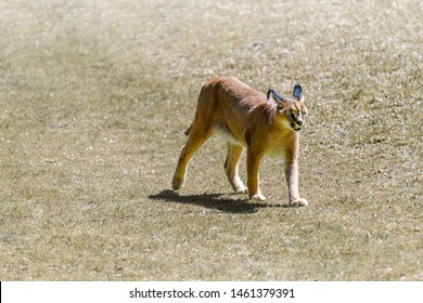 Caracal, African lynx, (Caracal caracal) walking in field. Beautiful wild cat in nature habitat, Felis caracal. Wildlife scene from nature.
